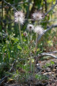 Pulsatilla pratensis, Fältsippa, Ranunculaceae, Ranunkelväxter
