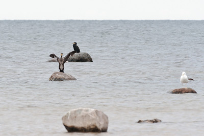 Great Cormorant (Storskarv, Phalacrocorax carbo)
