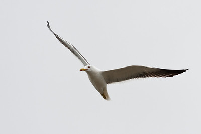 Great Black-backed Gull (Havstrut, Larus marinus)
