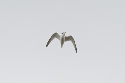 Little Tern (Småtärna, Sternula albifrons)