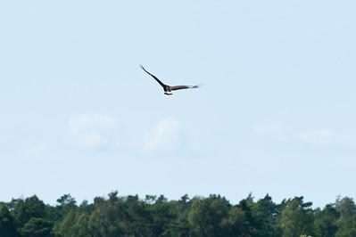 White-tailed Eagle (Havsörn, Haliaeetus albicilla)