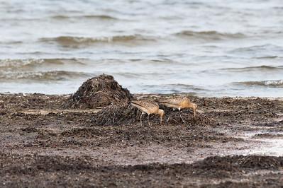 Black-tailed Godwit (Rödspov, Limosa limosa)