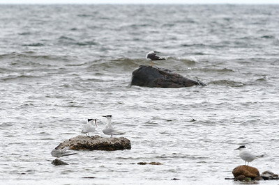 Sandwich Tern (Kentsk tärna, Sterna sandvicensis)