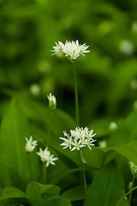 Allium ursinum, Ramslök, Alliaceae, Lökväxter Amaryllidaceae, amaryllisväxter