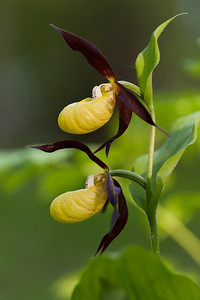 Cypripedium calceolus, Guckusko, Orchidaceae, Orkidéer