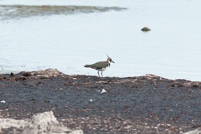 Lapwing (Tofsvipa, Vanellus vanellus)