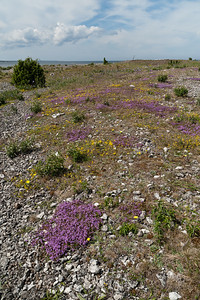 Thymus serpyllum, Backtimjan, Lamiaceae, Kransblommiga, Marpes