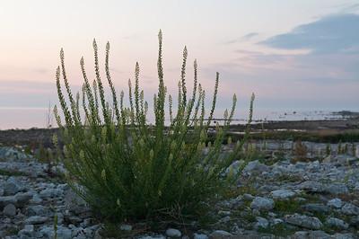 Reseda lutea, Gulreseda, Resedaceae, Resedaväxter