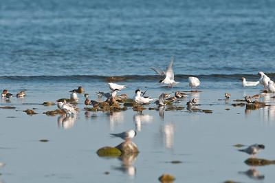 Various terns