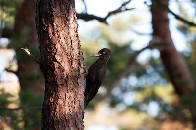 Black Woodpecker (Spillkråka, Dryocopus martius) at Skärs ände