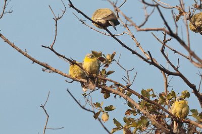Yellow-legged Green-Pigeon