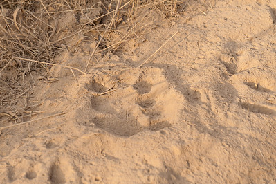 Tiger footprints!