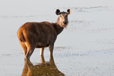 Sambar deer