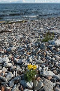 Linaria vulgaris, Gulsporre, Scrophulariaceae, Lejongapsväxter , Plantaginaceae Grobladsväxter