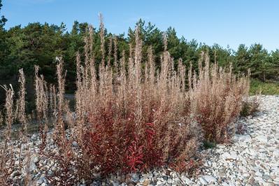 Chamaenerion angustifolium, Epilobium angustifolium, Mjölkört, Onagraceae, Dunörtsväxter