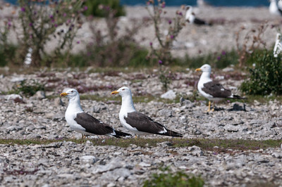 Great Black-backed Gull (Havstrut, Larus marinus); Norsholmen Fårö 2012-08-04