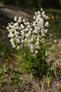 Cephalanthera longifolia, Svärdsyssla, Vit skogslija, Orchidaceae, Orkidéer