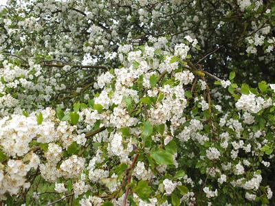 Crataegus, Hagtorn,  Rosaceae, Rosväxter
