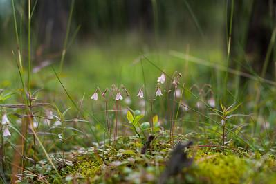 Linnaea borealis, Linnea, Linnaeaceae, Linneaväxter , Caprifoliaceae, Kaprifolväxter