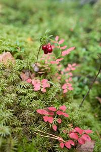 Vaccinium vitis-idaea, Lingon, Ericacea, Ljungväxter