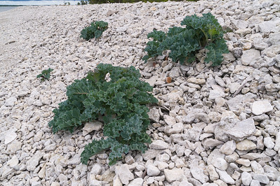 Crambe maritima, Strandkål, Brassicaceae, Korsblommiga, Sea kale at Vialmsudd