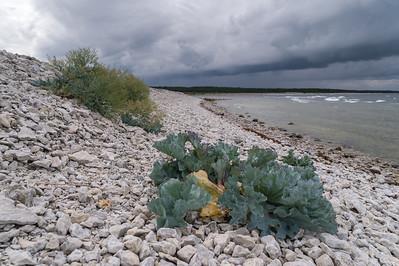 Sea kale (Strandkål, Crambe maritima) at Vialmsudd