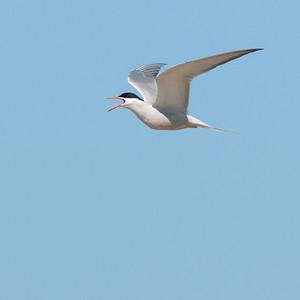 Common Tern (Fisktärna, Sterna hirundo); Skärsände, Fårö, 2013-05-05