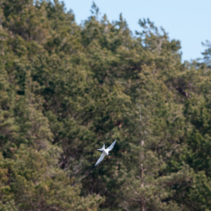 Little Tern (Småtärna, Sternula albifrons); Skalasand, Fårö, 2013-05-04