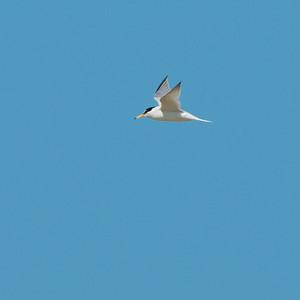 Little Tern (Småtärna, Sternula albifrons); Skärsände, Fårö, 2013-05-05