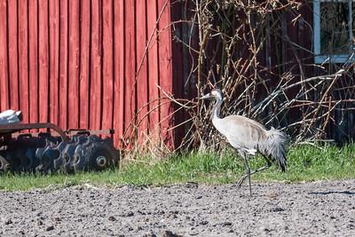Common Crane (Trana, Grus grus); Skär, Fårö 2013-05-03