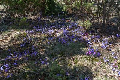 Hepatica nobilis, Blåsippa, Ranunculaceae, Ranunkelväxter, Ava 2013-05-04