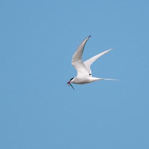 Arctic Tern (Silvertärna, Sterna paradisaea); Skärsände, Fårö, 2013-05-05