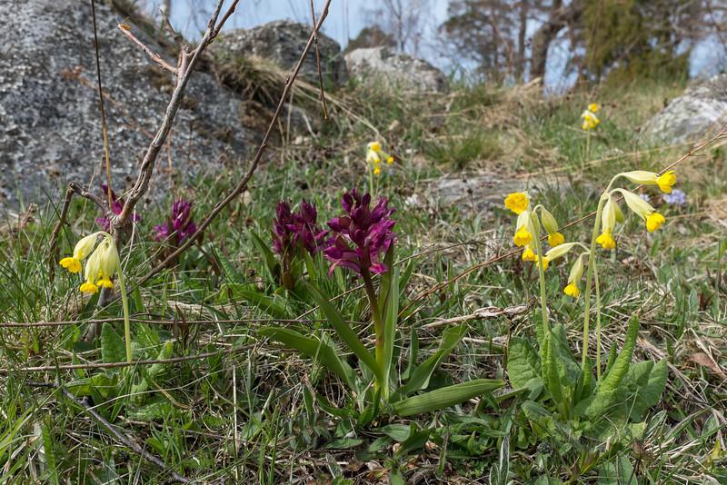 Primula veris, Gullviva, Primulaceae, Viveväxter