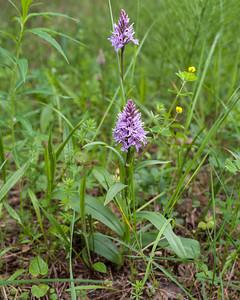 Dactylorhiza maculata fuchsii, Skogsnycklar, Orchidaceae, Orkidéer