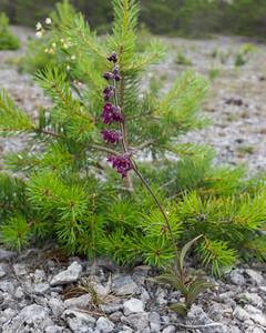 Epipactis atrorubens, Purpurknipprot, Orchidaceae, Orkidéer