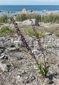 Epipactis atrorubens (Purpurknipprot), Orchidaceae (Orkidéer)