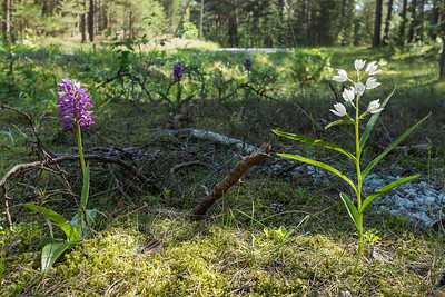 Cephalanthera longifolia, Svärdsyssla, Vit skogslija + Orchis militaris, Johannesnycklar, Orchidaceae, Orkidéer