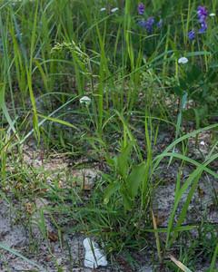 Epipactis helleborine (?), Skogsknipprot (?), Orchidaceae, Orkidéer
