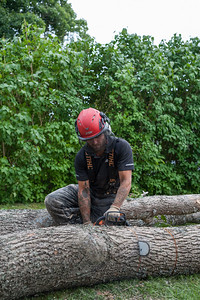 The ash tree cut into short logs