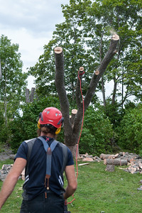 The ash tree falling