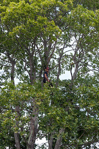 Careful selected cutting of the maple tree