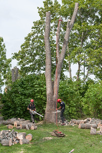 The final cut on the ash tree