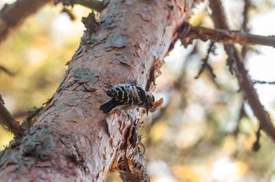 Lesser Spotted Woodpecker, (Mindre hackspett, Dendrocopos minor), Örskär 2013-09-20