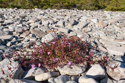 Geranium robertianum rubricaule, Strandstinknäva, Geraniaceae, Näveväxter