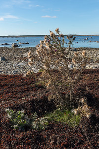 Cirsium vulgare, Vägtistel, Asteraceae, Korgblommiga