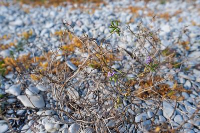 Cakile maritima, Marviol, Brassicaceae, Korsblommiga