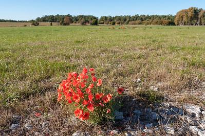 Papaver dubium, Rågvallmo, Papaveraceae, Vallmoväxter