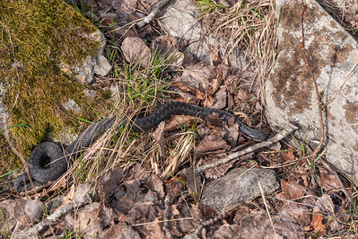 Vipera berus, Common adder