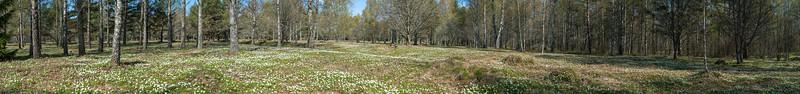 Anemone nemorosa, Vitsippa, Ranunculaceae, Ranunkelväxter