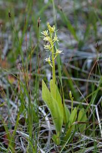 Liparis loselii, Gulyxne, Orchidaceae, Orkidéer